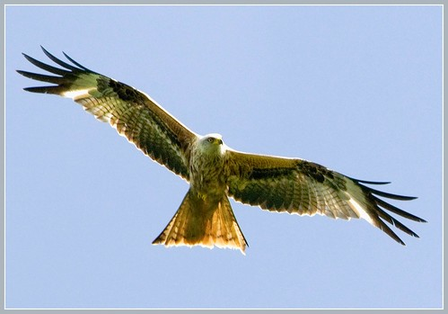 Red kite at Harewood, Yorkshire by hawkgenes.