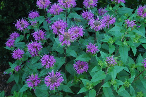 Monarda in Bloom