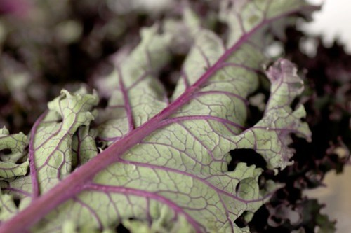red monarch kale