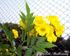 Yellow flower 03