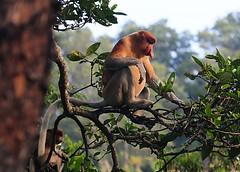 Proboscis Monkey (Brunei) Nasalis larvatus