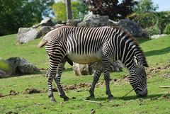 Grevyzebra im Zoo Parc de Beauval