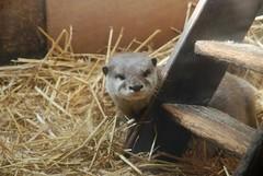 Kurzkrallenotter im Zoo de La Flèche