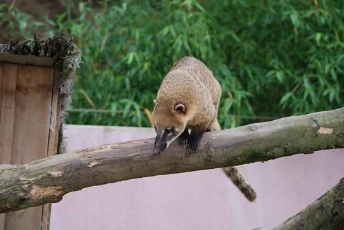 Südamerikanischer Nasenbär im Zooparc de Trégomeur