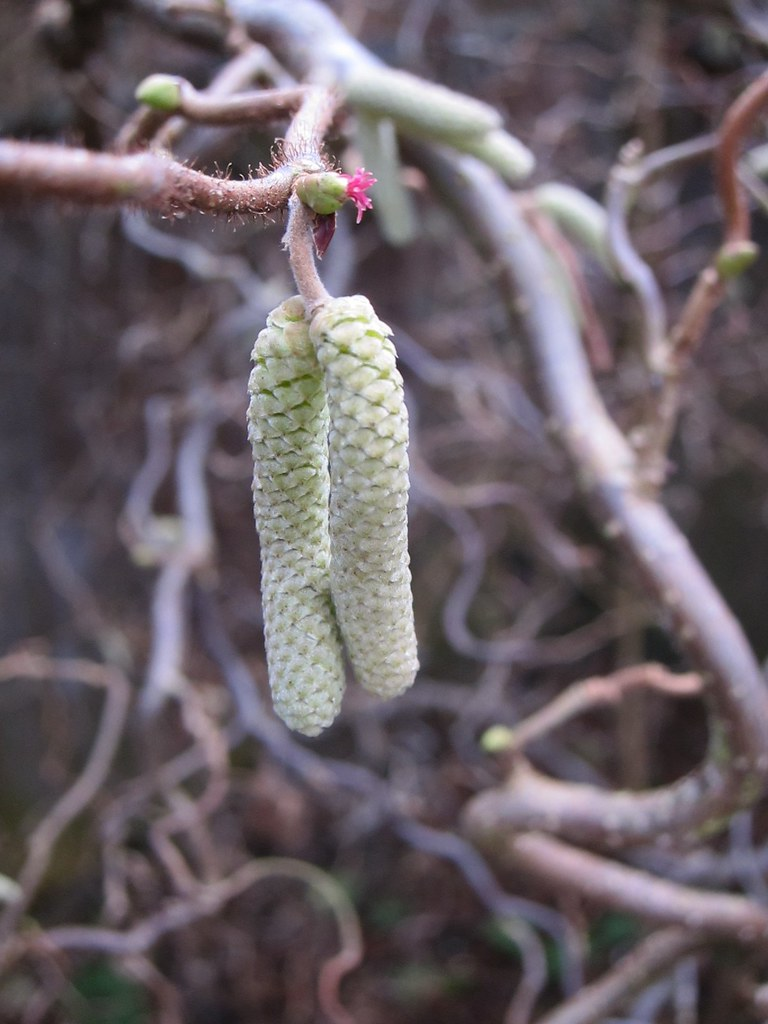 Catkins and flower
