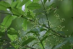 四季の森公園のマユミ(Shikinomori Park, Japan)