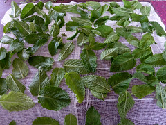 drying mint