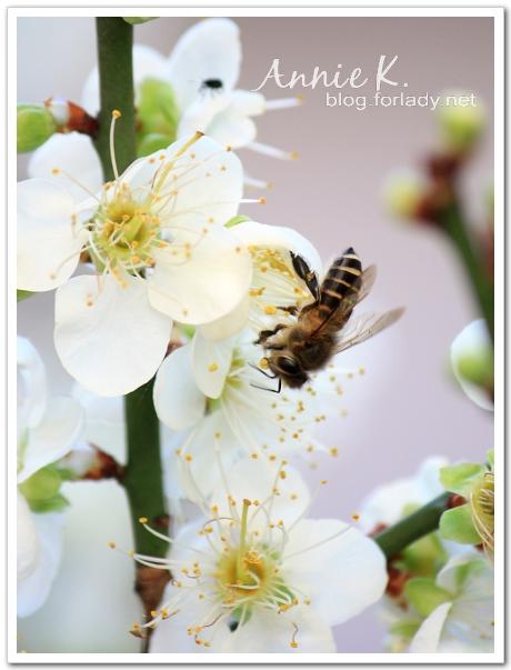 梅花胖蜜蜂