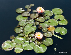 Water Lily - Botanical Gardens - City Park - New Orleans