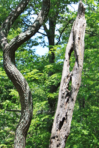 Old Rag - Curvy Trunk, Holey Trunk