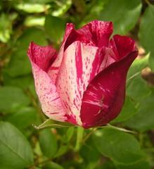 Marmorierte Rose 3