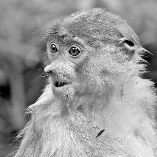 young proboscis monkey