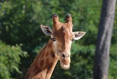 Giraffe im Zoo de La Flèche