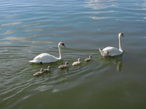 Sommer- Schwanenfamilie