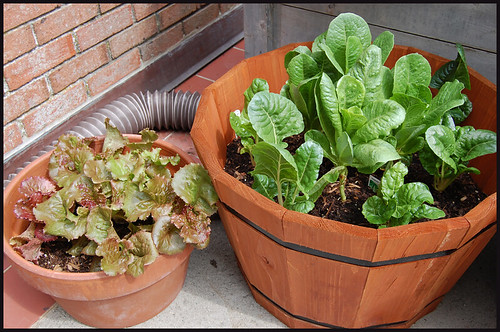 lettuces and chard