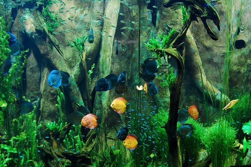 Amazonian fish.