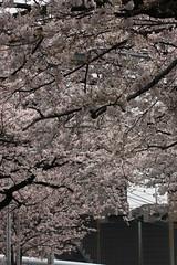 鷺沼の桜(Cherry blossom at Saginuma, Japan, 2010)