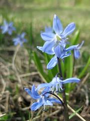 sininen kukkanen