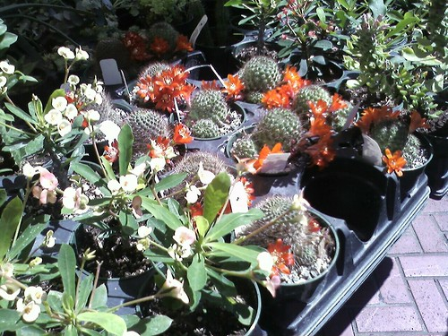 Pretty plant, look at the cacti in bloom!