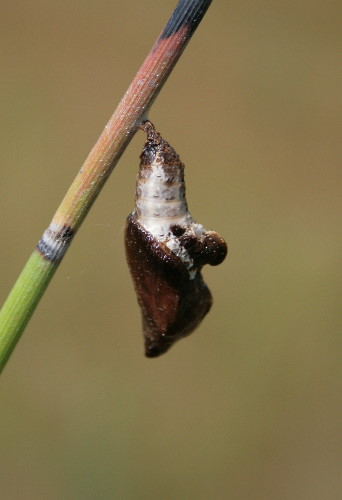 Viceroy chrysalis