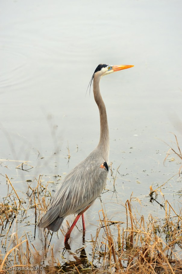 Great Blue Heron full closeup