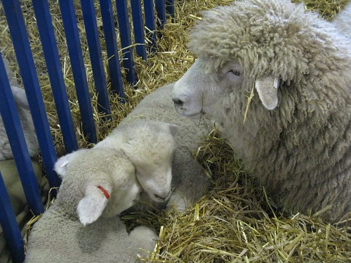 romney lambs & mom