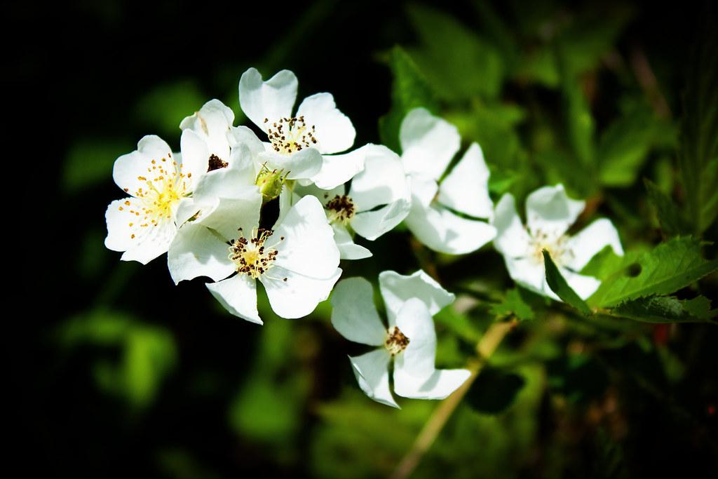 Cherokee rose vignette copy