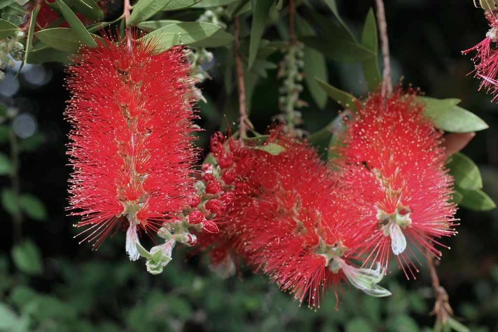 More bottlebrush for Sharyn
