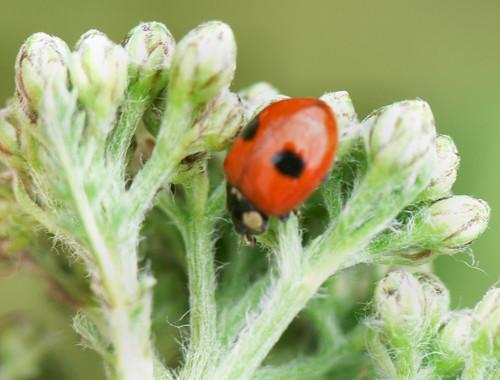 2-spot ladybird (Adalia 2-punctata)
