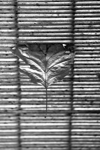 Leaf Hang Stuck B&W (by orb9220)