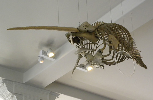 Narwhal Skeleton