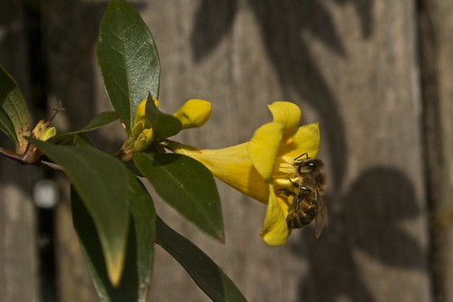 Bee on Jasmine