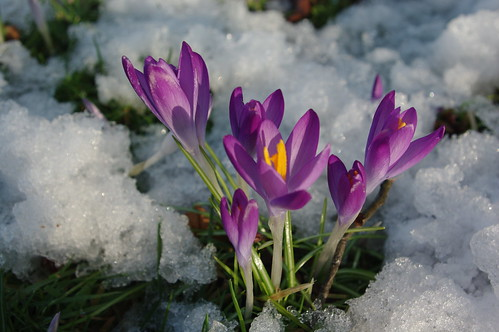 20100220-34_Crocus in the snow - Bilton Green Rugby by gary.hadden