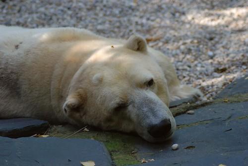 Eisbär Nanock im Zoo de La Flèche