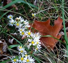 autumn daisies 2