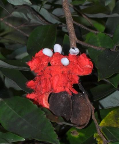Xylopia maccreae (Orange Jacket)