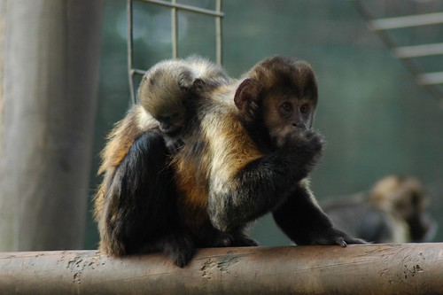 Gelbbrust-Kapuziner im Zoo de La Palmyre