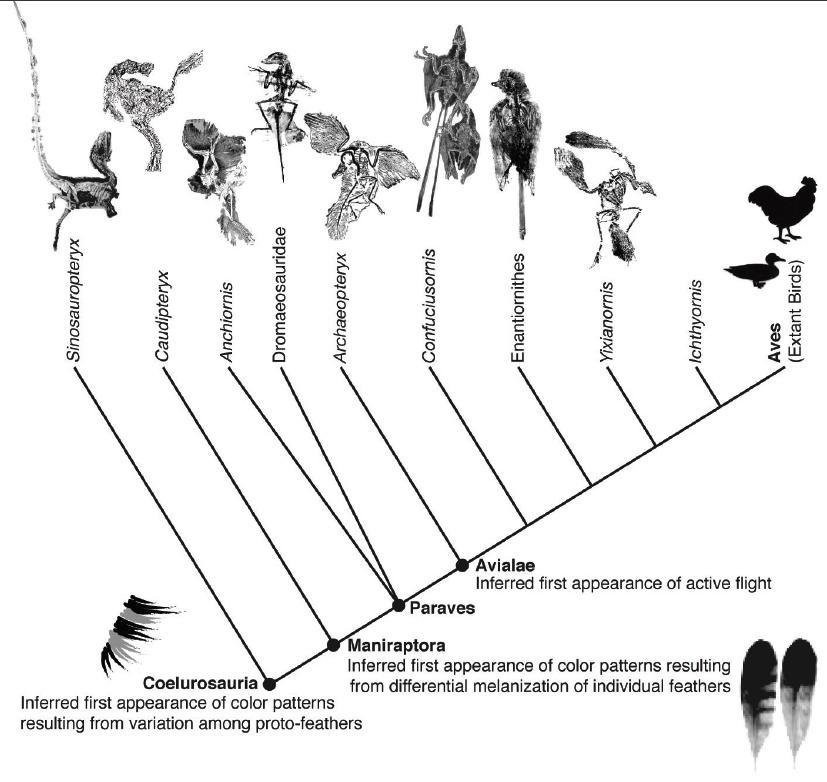 Dinosaur and bird family tree