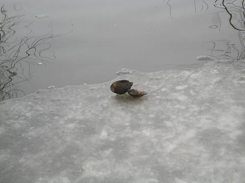 Muschelschale auf dem Eis