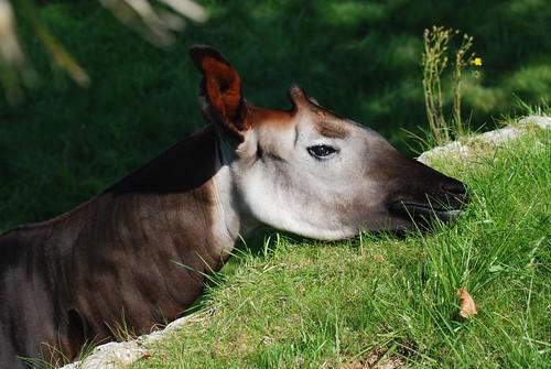 Okapi im Zoo Parc de Beauval