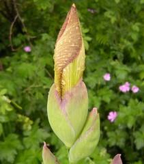 Iris 5