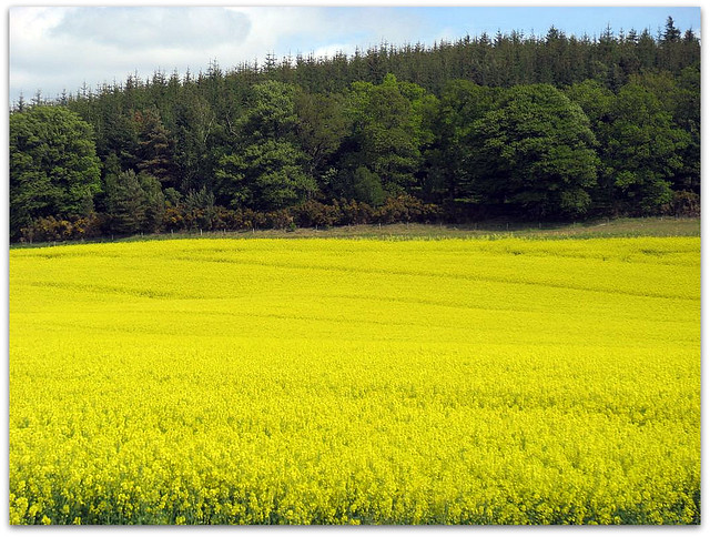 The yellow and green of the Black Isle