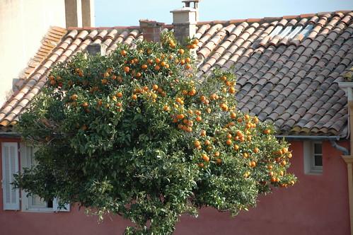 bormes les mimosa