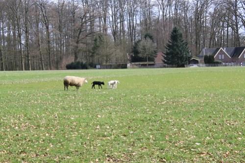 Spring Lammies