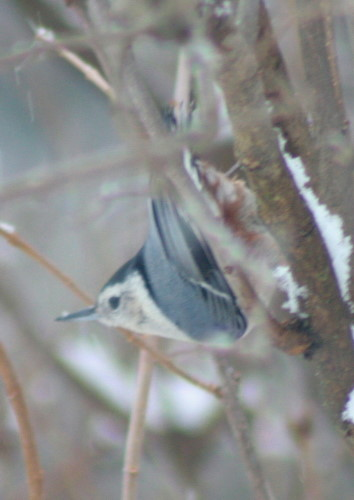 New Year's White-breasted Nuthatch