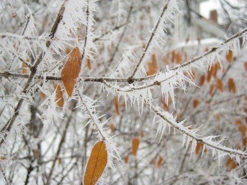 Hoarfrost :: on shrubbery