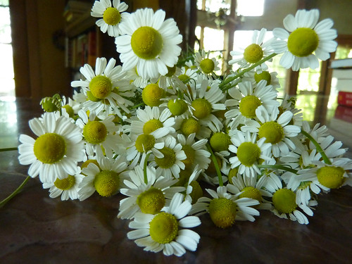 first chamomile harvest