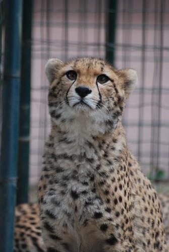Gepard im Zoo de La Palmyre