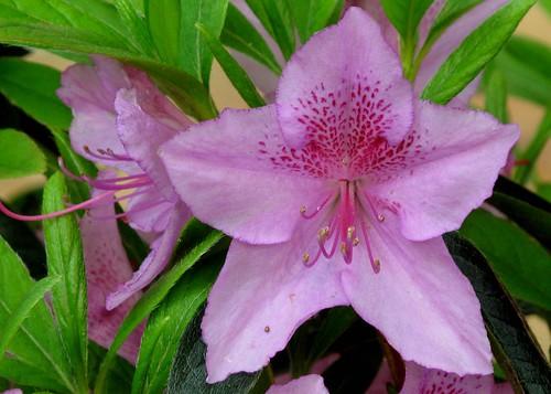 lavender starfish