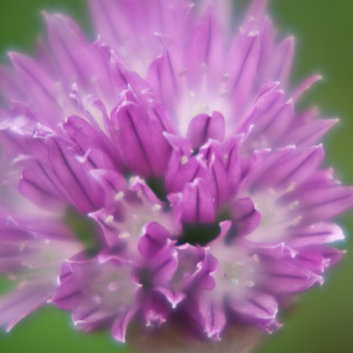 Flowering Sage